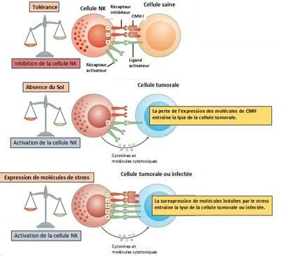 MECANISMES D'ACTIVATION ET D'INHIBITION DES CELLULES NK