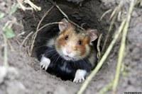 L'homme influence le peuplement des sols par le Hamster