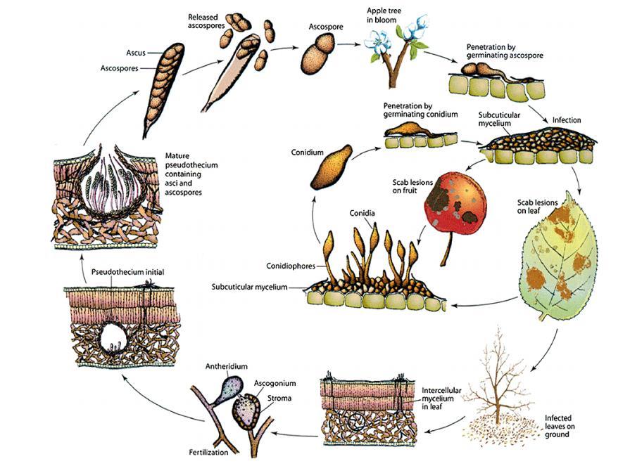 mieux connaitre le pouvoir pathog ne des champignons. Black Bedroom Furniture Sets. Home Design Ideas