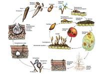 Mieux connaitre le pouvoir pathogène des champignons