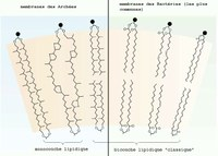 L'adaptation thermophile