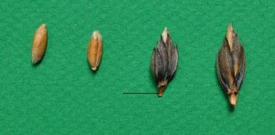 1amidonnier-grains-epillets.jpg