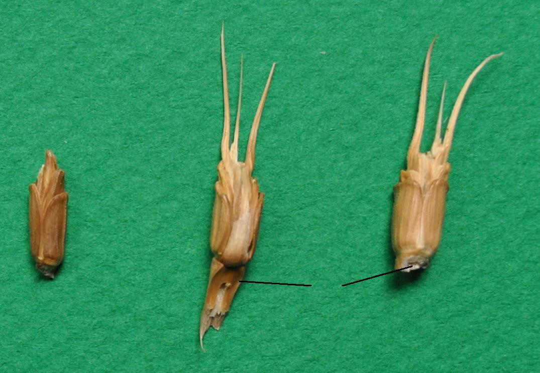 1tauschii-grains-epillets.jpg