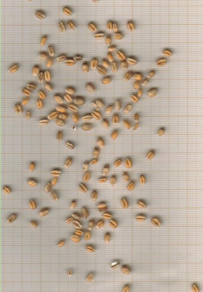 aestivum-complet-grains.jpg