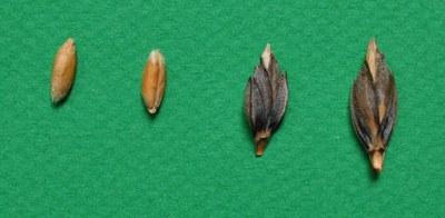 amidonnier-grains-epillets.jpg