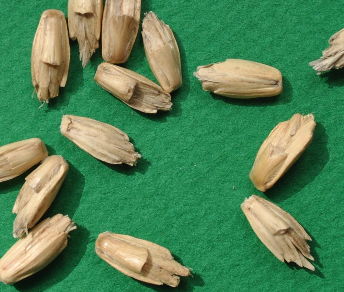 epeautre blanc barbu grains casnin.jpg