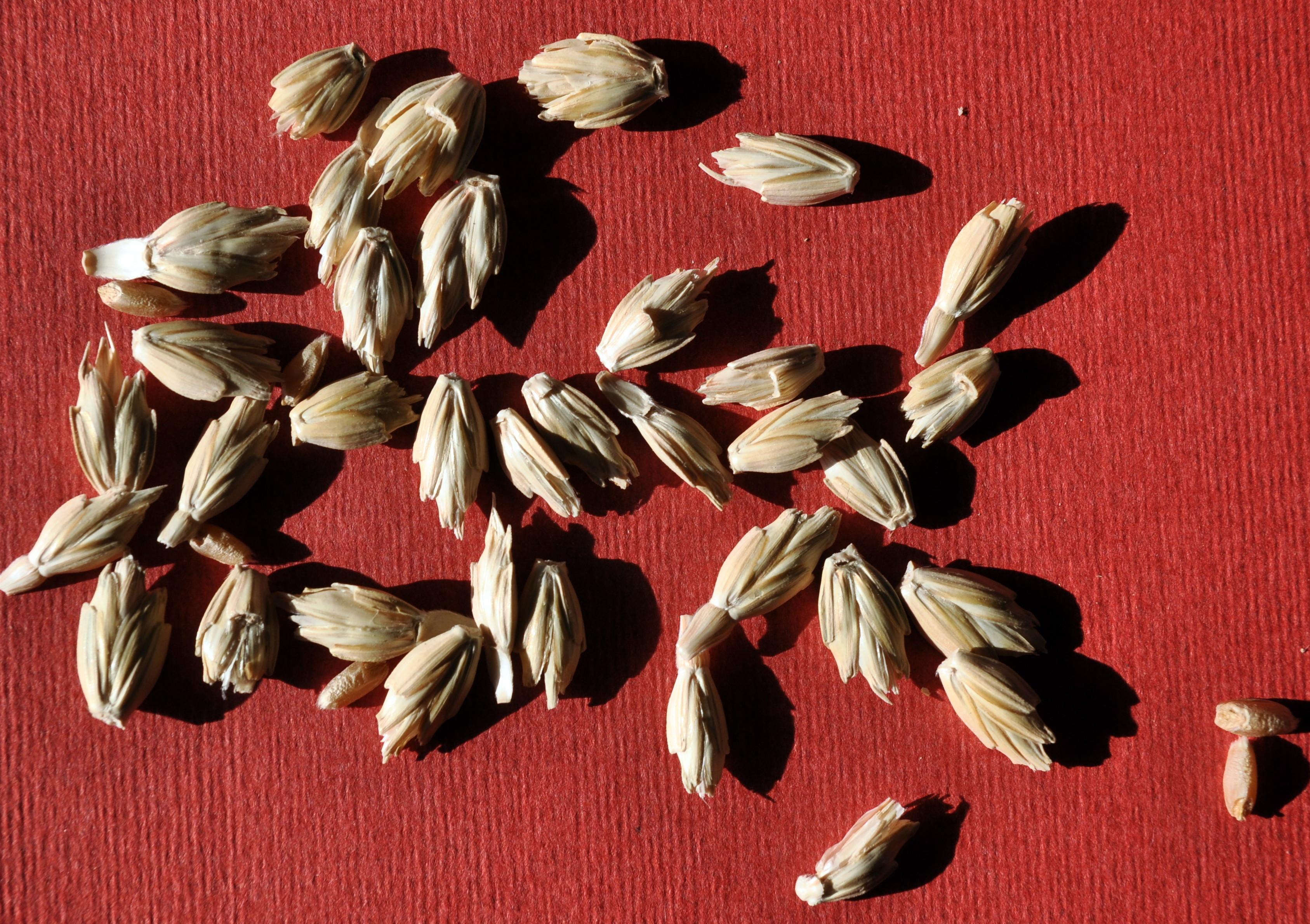epeautre ressac grains casnin.jpg