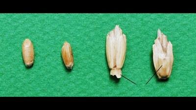 epeautre-grains-epillets-rachis.jpg