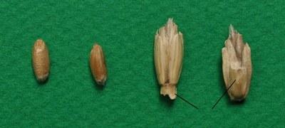 epeautre-grains-epillets.jpg
