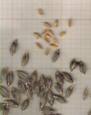 m-grains-amidonnier-noir.jpg
