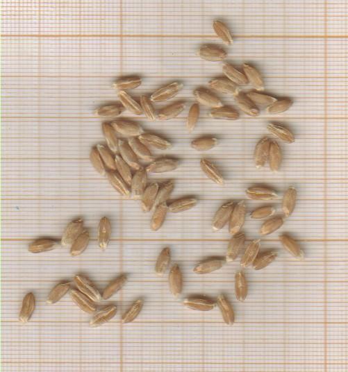 m-grains-epeautre-de-laveyron.jpg