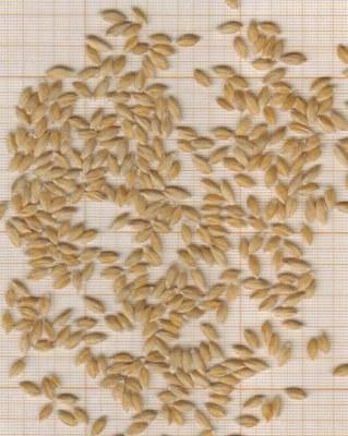 m-grains-petit-epeautre-sault-du-vaucluse.jpg