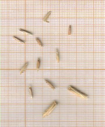m-grains-speltoides.jpg