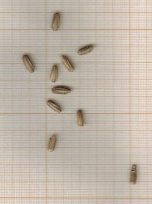 m-grains-tauschii.jpg