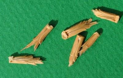 grains de Speltoides