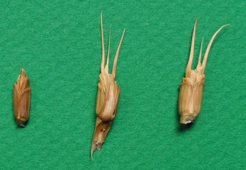 tauschii-grains-epillets.jpg