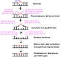 La réparation de l'ADN