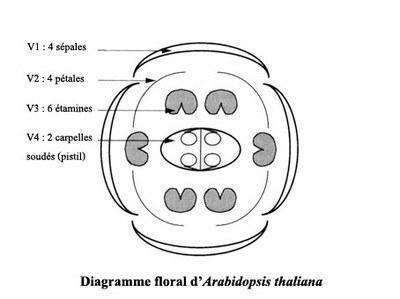 diagramme floral