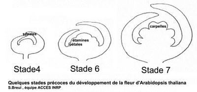 Stades du développement floral d'A. thaliana