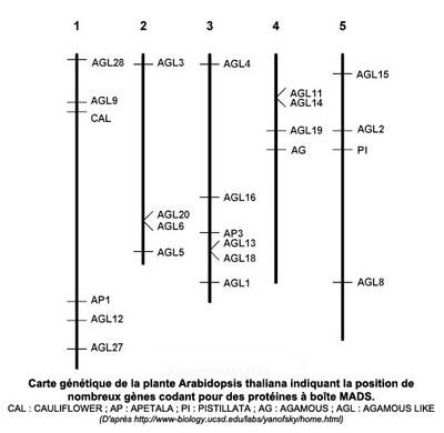 Carte génétique des gènes ABC