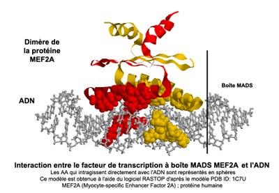 Interaction facteurs de transcription à boîte MADS / ADN