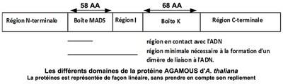 Les différents domaines de la protéine AGAMOUS