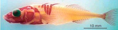 http://acces.ens-lyon.fr/acces/thematiques/evolution/accompagnement-pedagogique/accompagnement-au-lycee/terminale-2012/diversification-genetique-des-etres-vivants/genes-du-developpement-et-evolution-morphologique/epinoches/epinoche-eau-douce.jpg/image