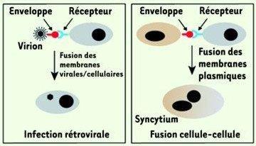 fusion de membranes.jpg