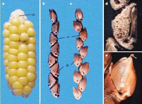 Maïs-Téosinte.jpg