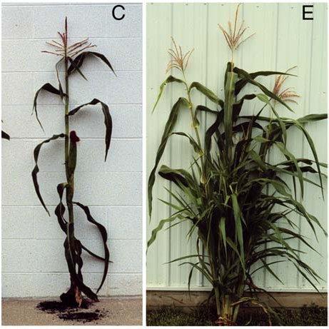 Maïs et mutant.jpg