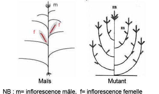 schématisation maïs-mutant.jpg