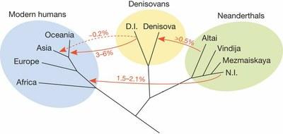 Apport génomes Néandertaliens et denisoviens-New.jpg