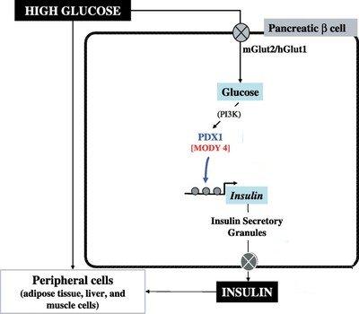Action Glucose par PDX1-New.jpg