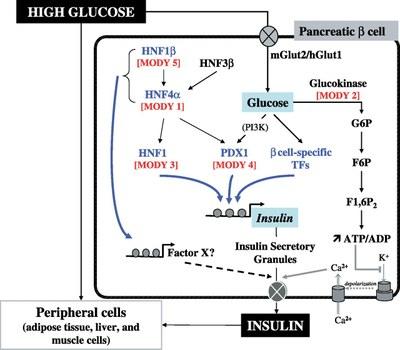 Action Glucose par PDX1.jpg