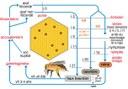 Cycle de vie de l'abeille.jpg