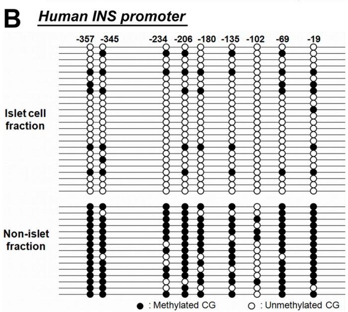 Méthylation INS humaine.jpg