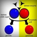 Schéma-Lactose.JPG