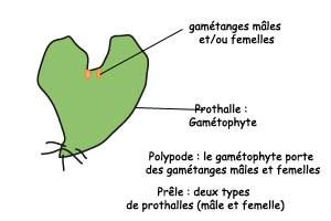 2gametophyte_polypode_prele.jpg