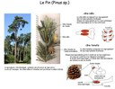 Sporophyte Pin