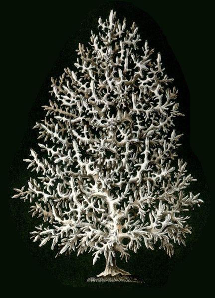 432px-Haeckel_Calcispongiae_Ascandra_Pinus.jpg