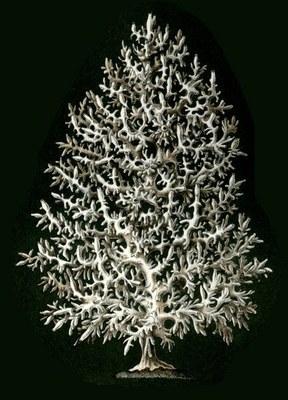 432px haeckel calcispongiae ascandra pinus