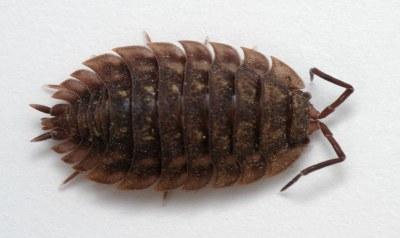 800px oniscus asellus   female cc