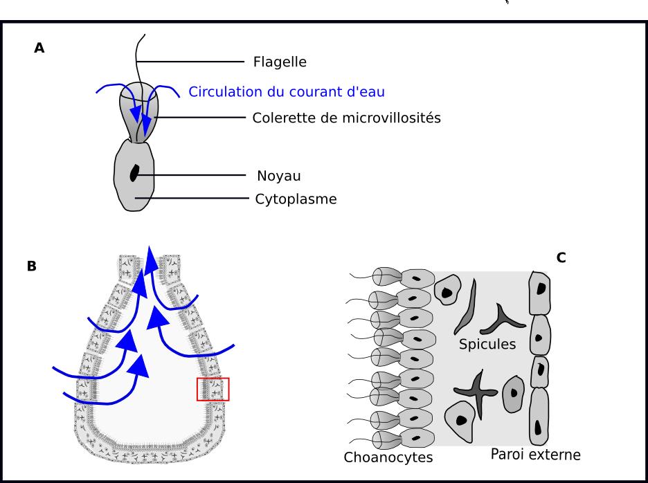 Choanoflagellés et choanocytes