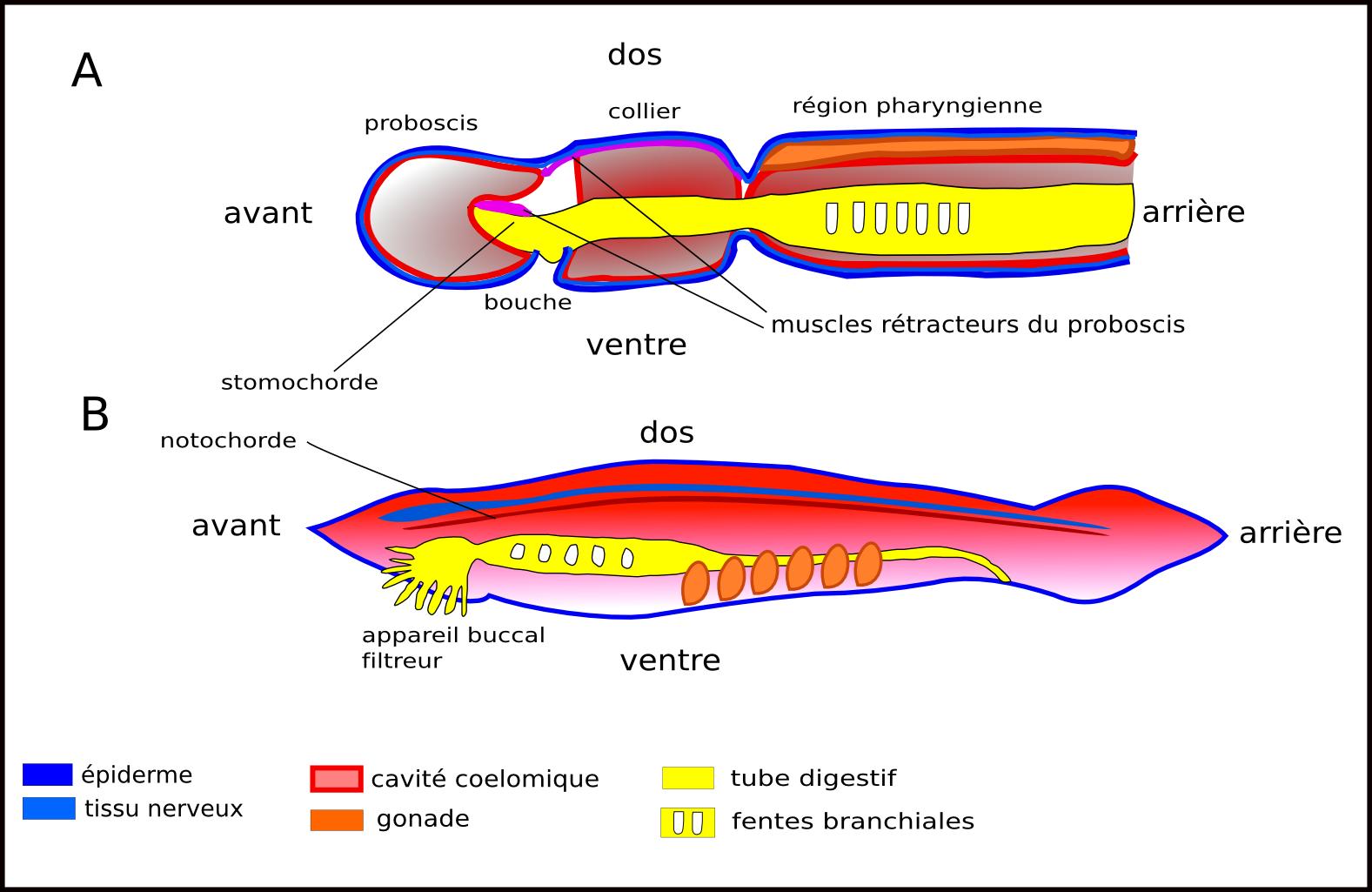 Exemple de nemathelminthes,