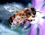 honeybee small