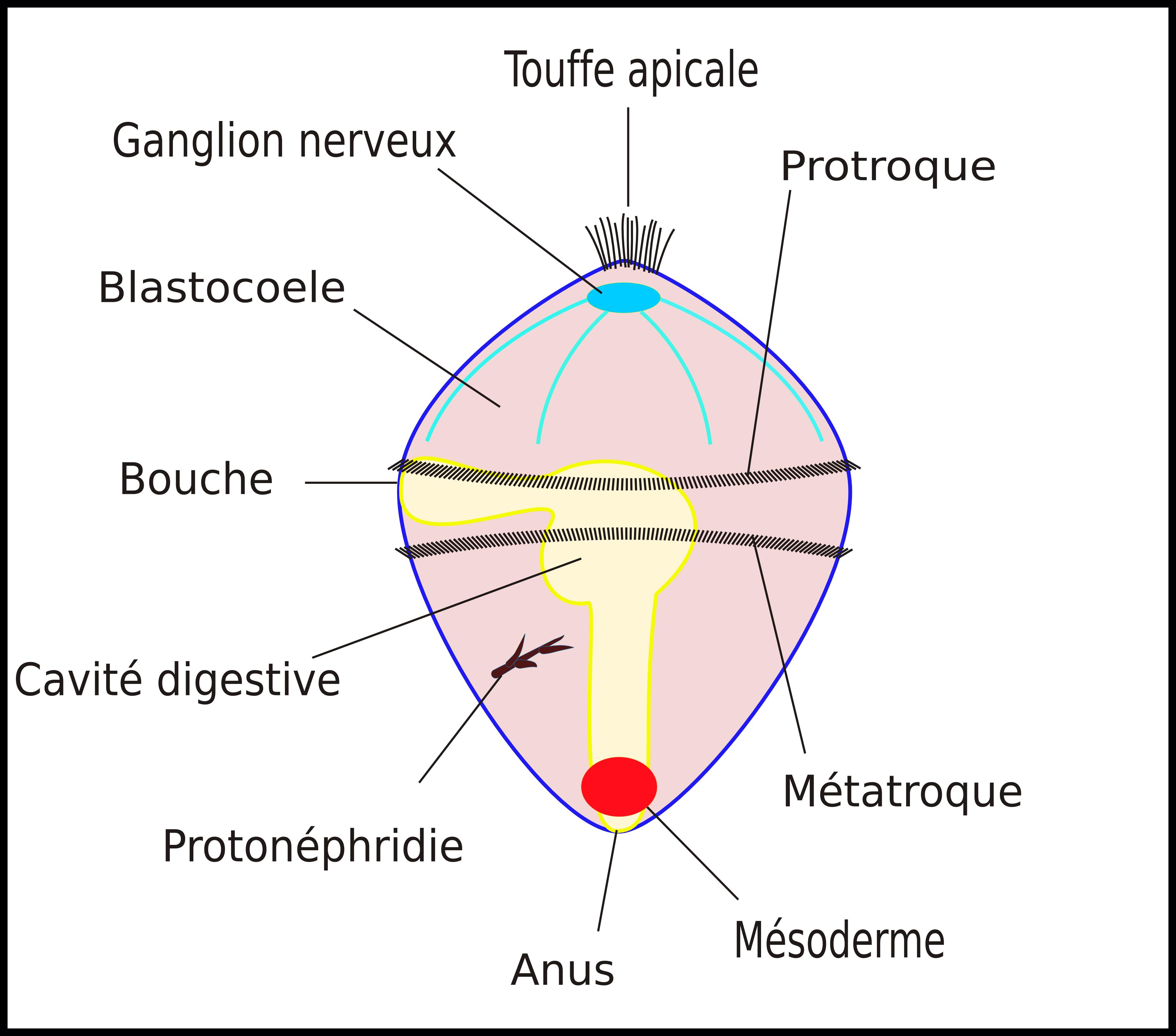 Larve trochophore