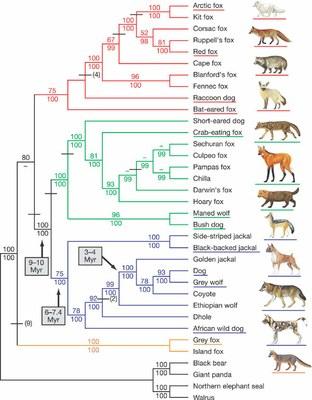 canid_phylogeny.jpg