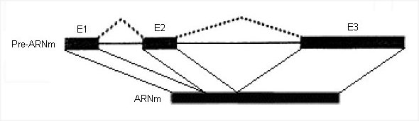 Structure gène HBB.jpg