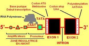 structure du gène.jpg