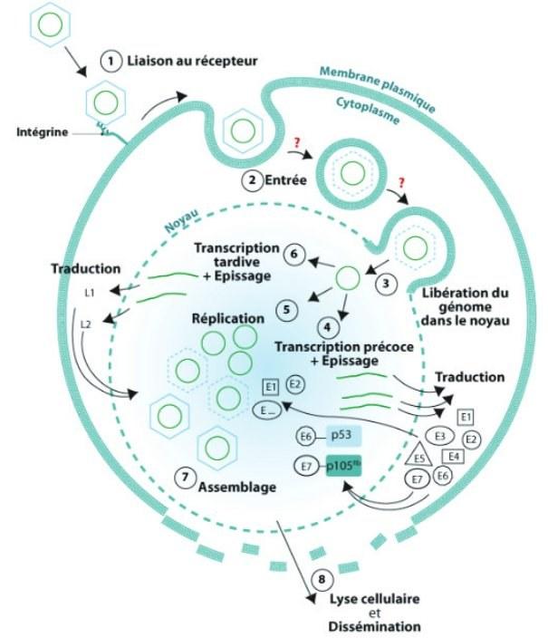 papillomavirus genetique